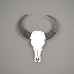 Buffel schedel gebleekt 1
