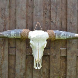 Longhorn Schedel Ongebleekt 4