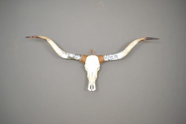Ongebleekte longhorn schedel 4