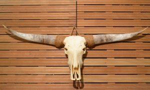 Longhorn schedel 2 ongebleekt