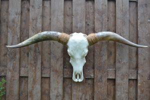 Longhorn Schedel Gebleekt 3