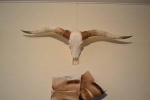 Longhorn schedel gebleekt XL 1