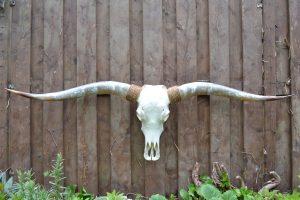 Gebleekte Gepolijste Longhorn Schedel XL1