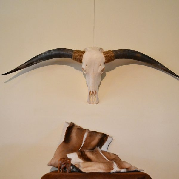 Longhorn gebleekt 4