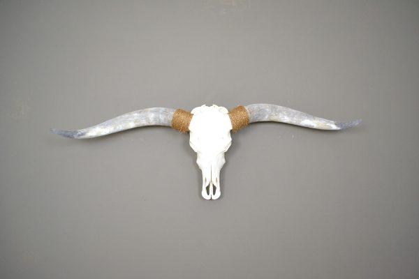 Longhorn schedel 4 gebleekt