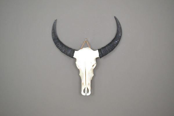 Buffel schedel ongebleekt 2 XL