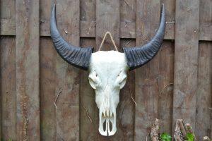 Ongebleekte Buffel Schedel 2