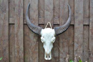 Ongebleekte Buffel Schedel XL 1