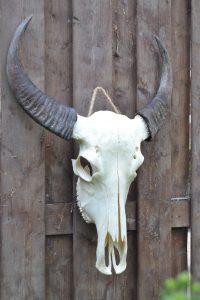 Buffel Schedel Ongebleekt 3