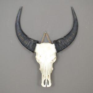 Buffel schedel ongebleekt 3 XL