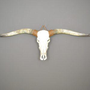 Longhorn schedel ongebleekt XL 1