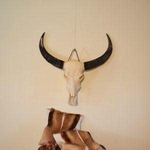 Buffel schedel ongebleekt 4
