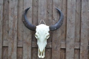 Ongebleekte buffel schedel 1