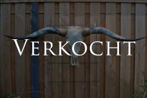 Gebleekte longhorn schedel 3 XL