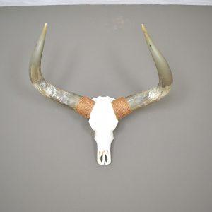 Gebleekte longhorn schedel 6