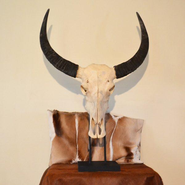 Buffel schedel op standaard ongebleekt 1