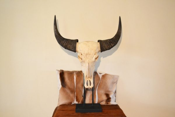 buffel schedel op standaard