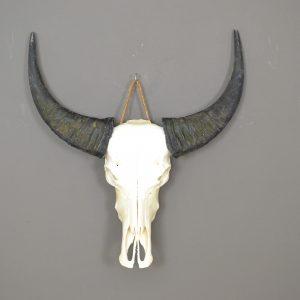 Buffel schedel ongebleekt 5