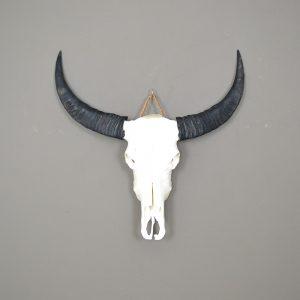 Ongebleekte buffel schedel 5
