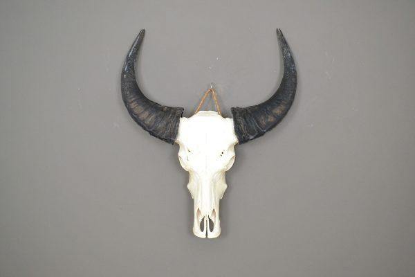 Buffel Schedel ongebleekt 7