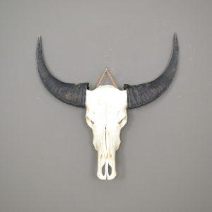 Buffel schedel ongebleekt 8